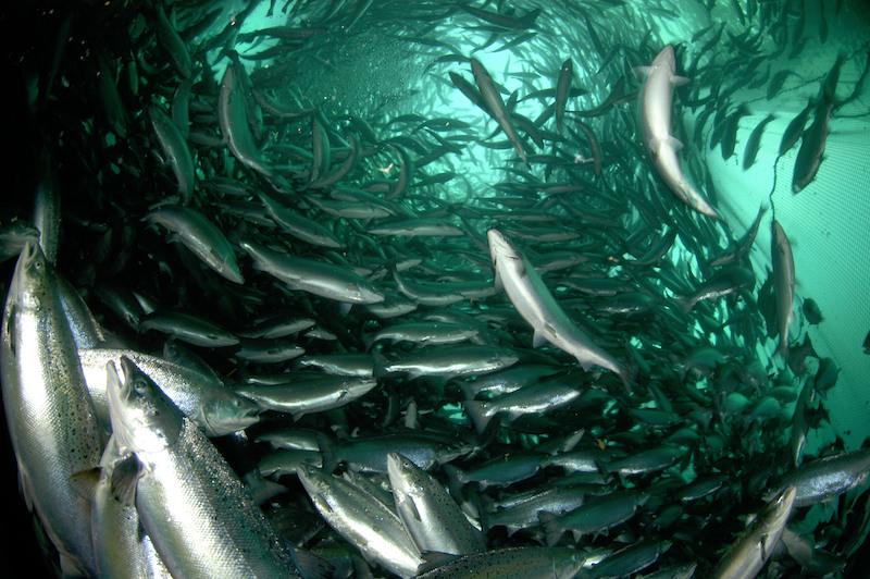Revista Reviews in Aquaculture publicó edición especial  sobre salmonicultura chilena